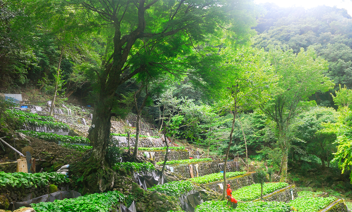 藤井わさび園から見る全景
