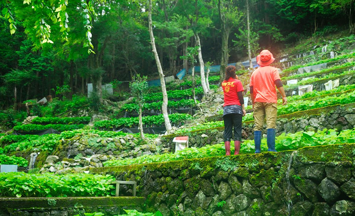 天城山系の湧水で「本わさび」を栽培している家族経営のわさび農家です